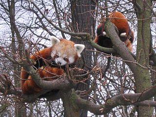 Ailurus Fulgens (pandas roux) – Tierpark Berlin 2006  – Wikipedia Commons