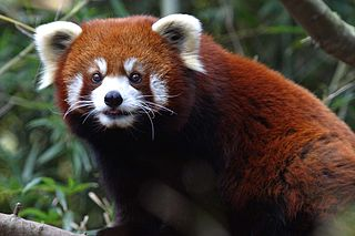 Red Panda – Nashville Zoo – Wikimedia Commons